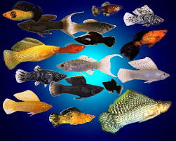 76 best freshwater aquarium fish fri images on