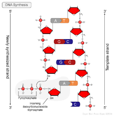 dna replication and repair biol 230 master confluence