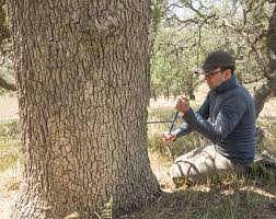 tree ring study shows california s drought worst in 1 200 years