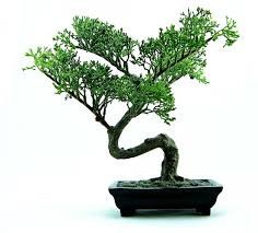 growing bonsai from seed step by step my tiny tree
