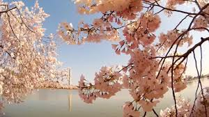 pink blossoms u0026 washington monument dc u0027s 2016 national cherry
