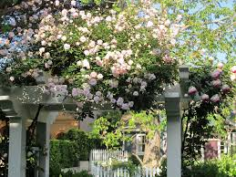 thinking of planting thornless rose vine by my pergola
