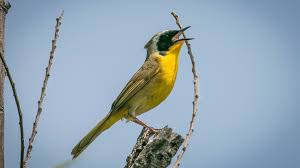 yellowthroat colorful when not hiding in brush the san diego