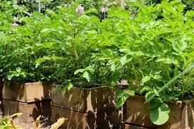 ameisen auf dem balkon kartoffeln auf dem balkon pflanzen geht das