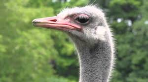 canon 550d t2i close up head shot footage of an ostrich youtube