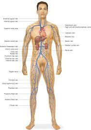 Male External Anatomy Human Anatomy Diagram Some Important Veins Of The Body Veins Of