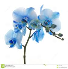 Flower Of Orchid - orchid flower royalty free stock images image 17545369