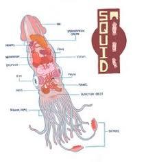 squid external anatomy labelled manandmollusc net anatomy