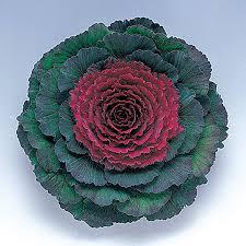 pigeon purple f1 hybrid ornamental flowering cabbage kale seeds ne