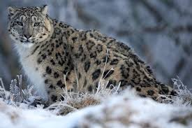 snow leopards scientists discover three new subspecies of the