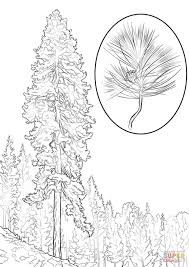 ponderosa pine coloring page free printable coloring pages