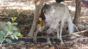 Get Your Goat Rentals by Goat Giving Birth In Sawa Eritrea Youtube