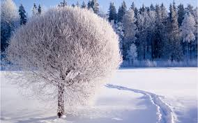 beautiful white frozen tree hd winter season