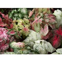 caladium bulbs by the pound rainbow mix assortments start at