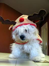 bichon frise funny the world u0027s best photos of apso and costume flickr hive mind