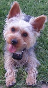 my yorkie chester adorable dogs chester yorkies