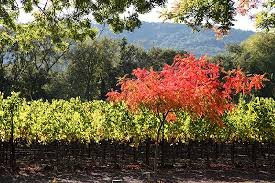 yountville fall color picture napa valley california