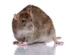 how to get rid of rats pest control products