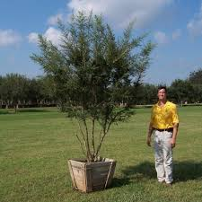 pride of houston yaupon affordable trees