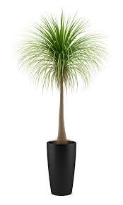 large potted palm u2013 gary u0027s garden