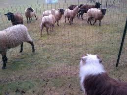 dirty south australian shepherds australian shepherds of the dmv alexandria va meetup