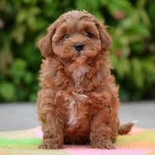 shi poo shihpoo designer dogs online