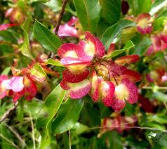 A U0027ali U0027i Dodonaea Viscosa Hawaiian Native Plants Pinterest