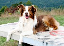 australian shepherd pictures meet the breeds carolina hearts aussie rescue