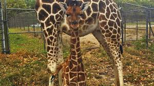 Six Flags Wild Safari Absurdly Adorable Giraffe Born At Six Flags Theme Park In New