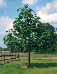 royal empress tree for sale fast growing trees