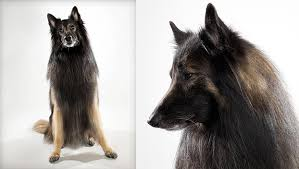 belgian sheepdog guard dog belgian tervuren dog breed selector animal planet