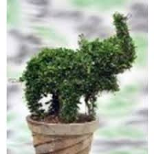 Topiary Plants Online - topiaries plants u0026 flower topiaries plants online shop in india