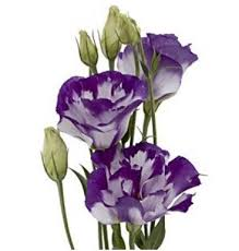 lisianthus flower two tone white and purple lisianthus flowers lisianthus fresh