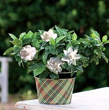good tidings gardenia at jackson and perkins