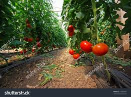 tomato plant greenhouse close image stock photo 110365835