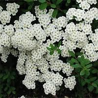 Shrub Small White Flowers - popular white flowering shrubs bushes with white flowers