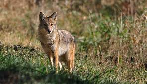Coyote In My Backyard Protect Your Livestock From Predators Hobby Farms