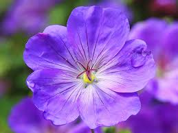 Violet Single Violet Flower Free Photos Absolutely For Download About 15