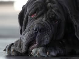 Ugliest How They Pick The Winners Of The World U0027s Ugliest Dog Contest
