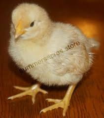 How To Raise Backyard Chickens For Eggs Getting Baby Raising Backyard Chickens For Eggs