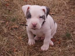 american bully connection american bully breeder for profit or