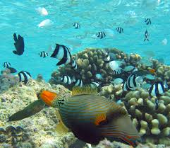 orange lined triggerfish3 jpg