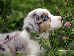 images of australian shepherd top 10 most intelligent dogs in the world australian shepherd