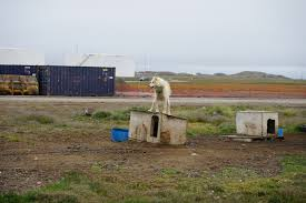 i guarded an arctic base against polar bears at the frontline of