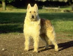 belgian shepherd for sale south africa belgian shepherd dogs breeds pets