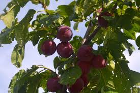 plum alberta home gardening