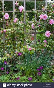 camellia japonica cv growing through trellis screen and