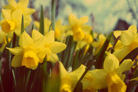 yellow daffodil free stock images by libreshot