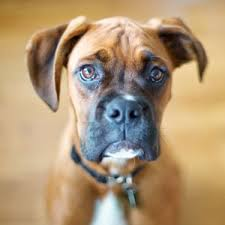 boxer dog vomiting after eating best dog food for boxers high protein diet is the key