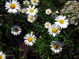 new york native plants wild daisies are sweet garden flower for western new york